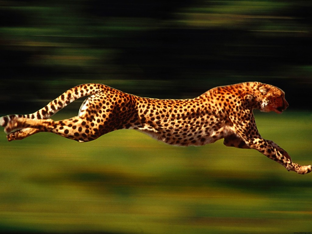 running_cheetah_wallpaper-29085